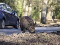 Wild boar, Sus scrofa. By roadside, Forest of Dean, Gloucestershire, February 2018 Stock Photography