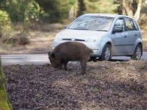 Wild boar, Sus scrofa. By roadside, Forest of Dean, Gloucestershire, February 2018 Stock Image