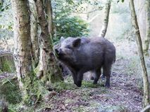 Wild boar, Sus scrofa. Single animal, Forest of Dean, Gloucestershire, February 2018 Royalty Free Stock Photography