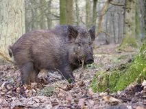 Wild boar, Sus scrofa. Single animal, Forest of Dean, Gloucestershire, February 2018 Royalty Free Stock Photo
