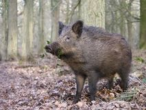 Wild boar, Sus scrofa. Single animal, Forest of Dean, Gloucestershire, February 2018 Stock Images
