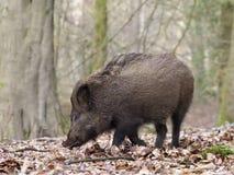 Wild boar, Sus scrofa. Single animal, Forest of Dean, Gloucestershire, February 2018 Stock Image