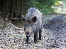 Wild boar, Sus scrofa. Single animal, Forest of Dean, Gloucestershire, February 2018 Royalty Free Stock Image