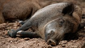 Wild Boar Sus scrofa. Sleeping in the wilderness Stock Photo