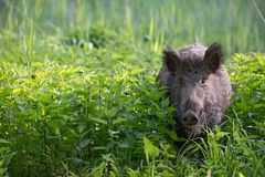 Wild boar - Sus scrofa. Wilderness. Walking in nature still life, marsh. Royalty Free Stock Photo