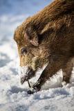 Wild boar (Sus scrofa) Royalty Free Stock Photos