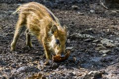 Wild boar swine pig sus scrofa baby eating bread in the bavarian woods royalty free stock photos