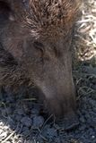 Wild boar, Szarvas, Hungary. Wild boar in a zoo in Szarvas, Hungary stock image