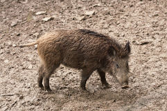 Wild boar in their natural environment Stock Image