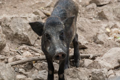 Wild boar. Royalty Free Stock Photography