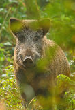 Wild boar through the trees Royalty Free Stock Photos