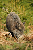Wild boar turning over grass and roots Stock Photo