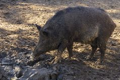 Wild boar, tusker looking for food in the mud. As true wild boar royalty free stock photo