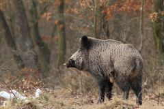Wild boar with  tusks Royalty Free Stock Photo