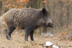Wild boar with tusks 2. Royalty Free Stock Images