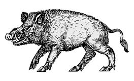 Wild Boar Vector Royalty Free Stock Images