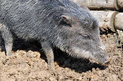 Wild boar. View of a wild pig in the mud Stock Photos