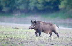 Wild boar walkin in forest Royalty Free Stock Photo