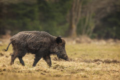 Wild boar walking Royalty Free Stock Photo