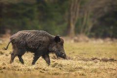 Wild boar walking Royalty Free Stock Photo