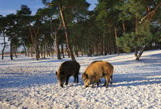 Wild boar walking through dead grass and pine trees Stock Photography