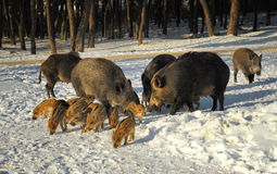 Wild boar walking through dead grass and pine trees Stock Image