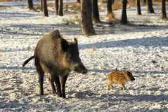 Wild boar walking through dead grass and pine trees Stock Images