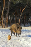 Wild boar walking through dead grass and pine trees Royalty Free Stock Photos