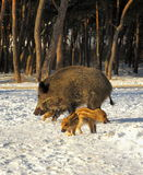 Wild boar walking through dead grass and pine trees Royalty Free Stock Photography