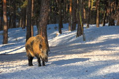 Wild boar walking through dead grass and pine trees Stock Photo