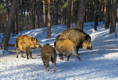 Wild boar walking through dead grass and pine trees Royalty Free Stock Images