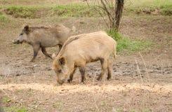 Wild boar walking through dead grass Stock Photos