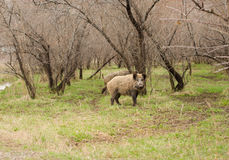 Wild boar walking through dead grass Royalty Free Stock Images