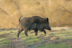 Wild boar. Walking in forest in autumn morning royalty free stock images