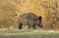 Wild boar. Walking in forest in autumn morning royalty free stock photography