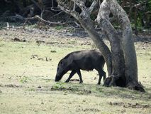 Wild boar walking in the forest in the misty morning. Wildlife in its natural habitat royalty free stock photo