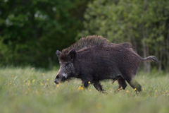 Wild boar walking Stock Image