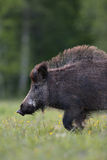 Wild boar walking portrait Stock Photos