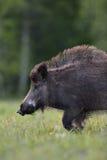 Wild boar walking portrait Stock Photos