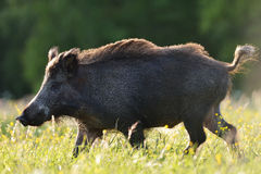Wild boar walking Royalty Free Stock Photography