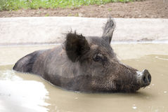 Wild boar in water - Sus scrofa royalty free stock images