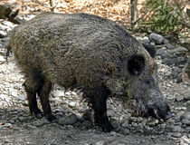 Wild boar 10 Royalty Free Stock Image