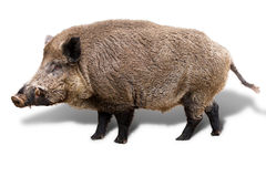 Wild boar on white Stock Image