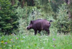 Wild boar. Sus scrofa ferus walking in summer field stock images