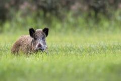 Wild boar in the wild Stock Image