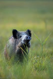 Wild boar in the wild Royalty Free Stock Photos