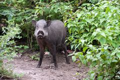 Wild boar. Wild Hogs eating in a field Royalty Free Stock Photos