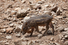 Wild boar, Wild pig on field Stock Photos