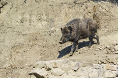 Wild boar or wild pig lat. Sus scrofa Stock Images