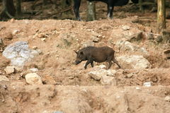 Wild boar, Wild pig Royalty Free Stock Photos